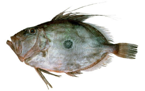 Doubtless Bay Charters - Fishing Charter Northland - John Dory