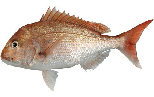Doubtless Bay Charters - Fishing Charter Northland - Snapper